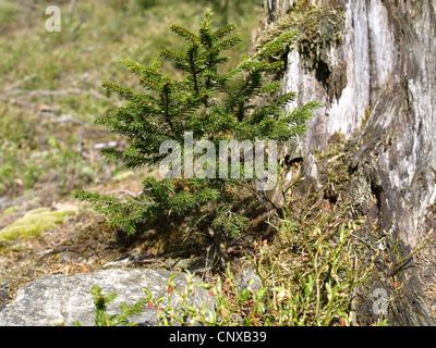 old rotten stump with young spruce / alter verrottender Baumstamm mit junger Fichte - Stock Photo