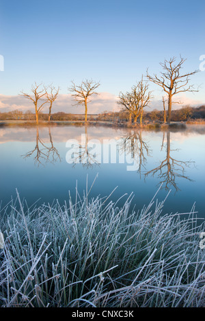 Trees reflected in a mirror still fishing lake on a frosty morning, Morchard Road, Devon, England. Winter (November) - Stock Photo