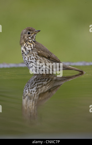 song thrush (Turdus philomelos), reflected in water, United Kingdom, Scotland, Cairngorms National Park - Stock Photo
