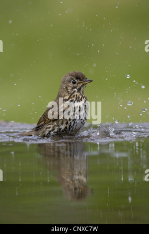 song thrush (Turdus philomelos), bathing in water, United Kingdom, Scotland, Cairngorms National Park - Stock Photo