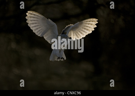 barn owl (Tyto alba), hunting, United Kingdom, Scotland, Cairngorms National Park - Stock Photo