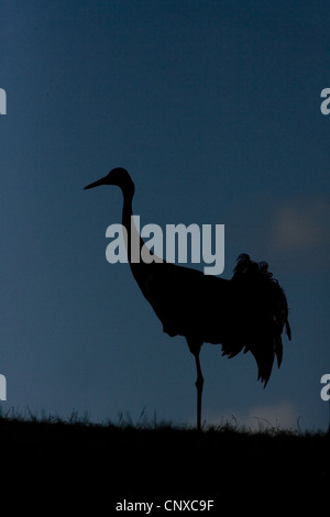 common crane (Grus grus), silhouetted at dusk, Sweden, Hornborga - Stock Photo