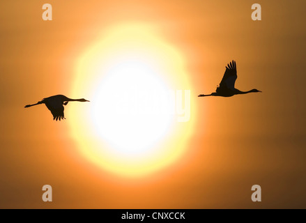 common crane (Grus grus), silhouetted against fiery sunset, Sweden, Hornborga - Stock Photo