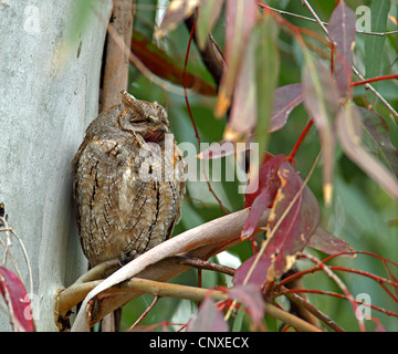 Eurasian scops owl (Otus scops), sleeping in a Eucalyptus tree, Greece, Lesbos - Stock Photo