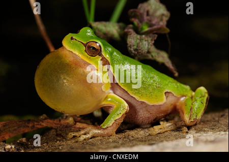 Italian Tree frog (Hyla intermedia  ), calling, Italy, Tuscany - Stock Photo