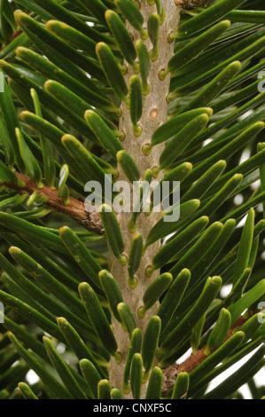 Nordman fir (Abies nordmanniana), branch, upper side - Stock Photo