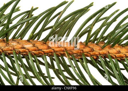 Norway spruce (Picea abies), detail branch - Stock Photo