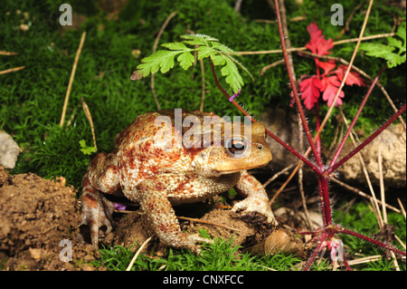 European common toad (Bufo bufo spinosus), juvenile, Italy, Calabria - Stock Photo