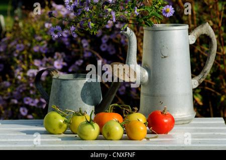 garden tomato (Solanum lycopersicum, Lycopersicon esculentum), tomatoes lying on a garden bench - Stock Photo