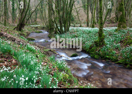 Snowdrops (Galanthus) flowering in North Hawkwell Wood, otherwise known as Snowdrop Valley, Exmoor - Stock Photo