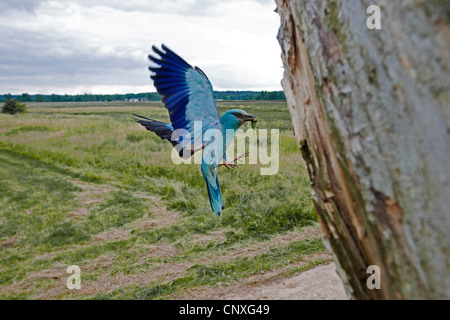 European roller (Coracias garrulus), approaching nest hole with worm in its beak, Poland, Lomza-Narew, Nowogrod - Stock Photo