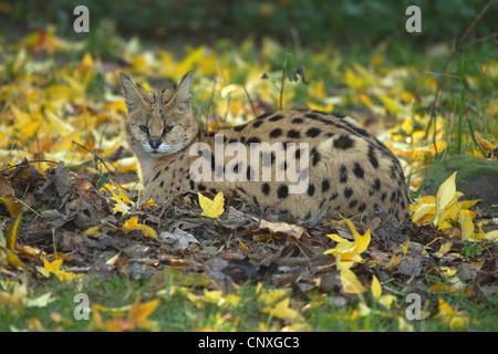 serval (Leptailurus serval, Felis serval), lying on the ground - Stock Photo