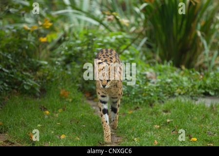 serval (Leptailurus serval, Felis serval), walking on a meadow - Stock Photo