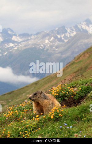 alpine marmot (Marmota marmota), in blooming mountain meadow, Switzerland, Engadine, Alp Languard - Stock Photo