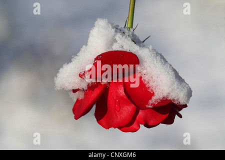 ornamental rose (Rosa spec.), Red rose with snow - Stock Photo