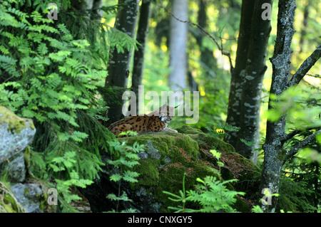 Eurasian lynx (Lynx lynx), sitting in a forest on mossy rock, Germany, Bavaria, Bavarian Forest National Park - Stock Photo