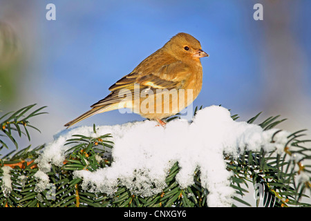 chaffinch (Fringilla coelebs), female in winter sit on a tree, Germany - Stock Photo