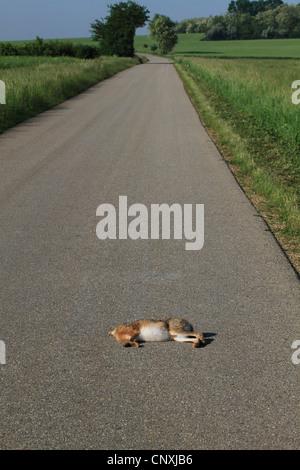 European hare (Lepus europaeus), knocked down hare lying on a street, Austria, Burgenland - Stock Photo