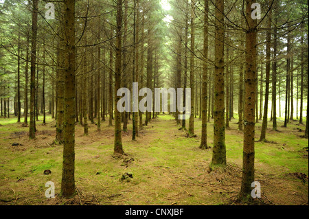 Norway spruce (Picea abies), spruce forest, Germany, Bavaria, Upper Palatinate - Stock Photo