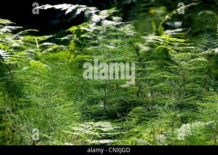 sylvan horsetail, wood horsetail, woodland horsetail (Equisetum sylvaticum), sprouts, Germany - Stock Photo