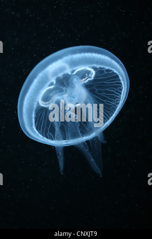 Moon jelly fish (Aurelia aurita) in Berlin aquarium, Germany. - Stock Photo
