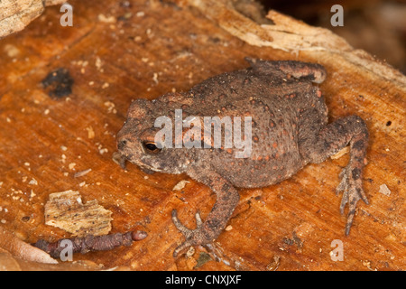 European common toad (Bufo bufo), sitting on wood, Germany - Stock Photo