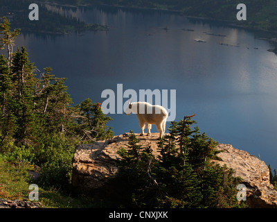 Mountain goat (Oreamnos americanus), standing on a rock over a mountain lake, USA, Montana, Glacier Natioanl Park - Stock Photo