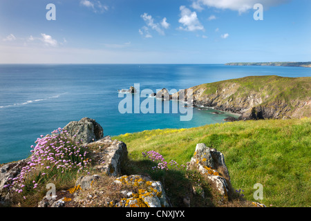 Sea thrift flowering on the clifftops above Carrick Luz, with views to the Lizard, Cornwall, England. Spring (May) - Stock Photo