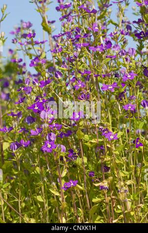 large venus's-looking-glass (Legousia speculum-veneris), blooming, Germany - Stock Photo