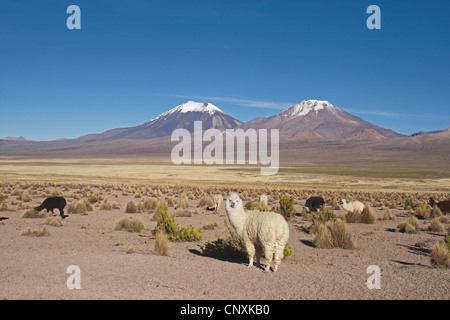 alpaca (Lama pacos), alpacas in front of the volcanos Parinacota and Pomerape, Bolivia, Andes - Stock Photo