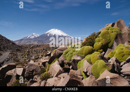 cushion plants in the moutains, vulcanos Pomerape and Parinacota in the background, Chile, Andes, Lauca National - Stock Photo