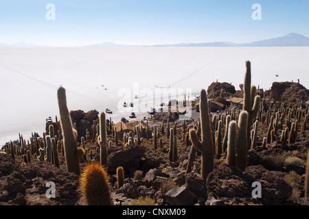 Pasacana catus (Trichocereus pasacana, Helianthocereus pasacana), cacti on Incahuasi island in Salar de Uyuni, largest - Stock Photo