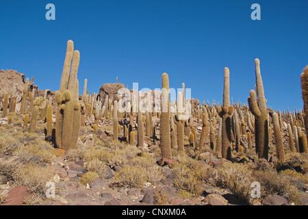 Pasacana catus (Trichocereus pasacana, Helianthocereus pasacana), cacti on Incahuasi island in Salar de Uyuni, Bolivia, - Stock Photo