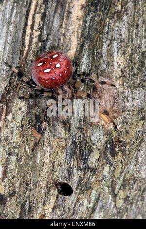 fourspotted orbweaver (Araneus quadratus), female sitting on wood, Germany - Stock Photo