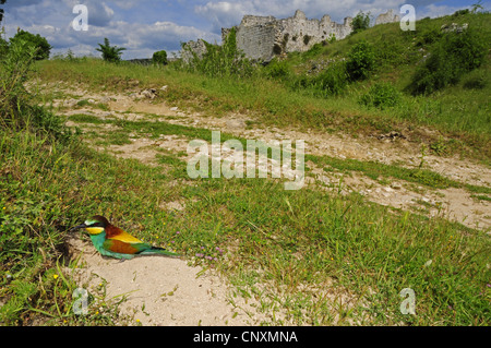 European bee eater (Merops apiaster), sitting in front of its nest at a field path, Croatia, Vrana Lake - Stock Photo