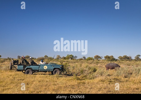 tourists in a jeep watching a grazing hippo, Botswana - Stock Photo