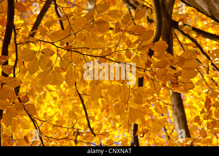 common beech (Fagus sylvatica), branches with autumn leaves, Germany, Bavaria - Stock Photo