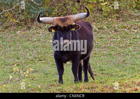 aurochs (domestic cattle) (Bos taurus, Bos primigenius), Heck bull standing in a meadow, Germany, Bavaria - Stock Photo