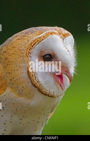 barn owl (Tyto alba), calling, Germany, Bavaria - Stock Photo