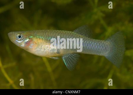 mosquito fish, mosquitofish (Gambusia affinis), female - Stock Photo