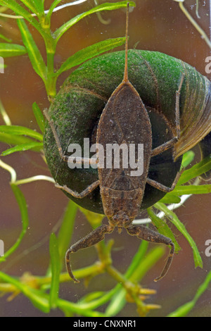 water scorpion (Nepa cinerea, Nepa rubra), lurking, sitting on a great ramshorn, Germany - Stock Photo