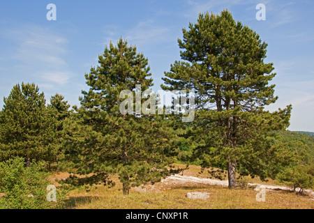 European black pine, Austrian pine, Black Pine, Corsican Pine (Pinus nigra) - Stock Photo