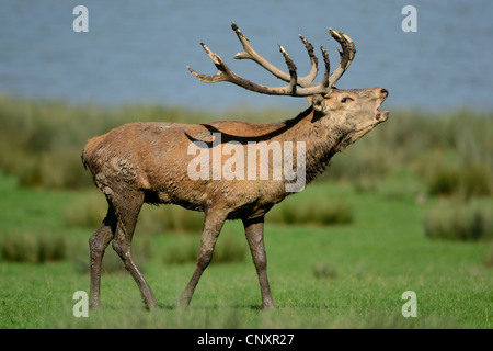 Red deer (cervus elephus) roaring during rutting season near lake, Rhodes animal's park, Moselle,Lorraine region, - Stock Photo