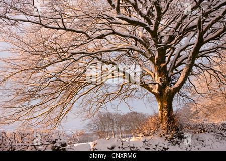 Snow covered tree on Exmoor, Somerset, England. Winter (January) 2012. - Stock Photo