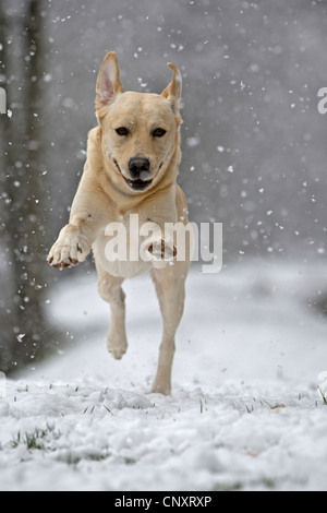 Labrador Retriever (Canis lupus f. familiaris), running in the snow - Stock Photo