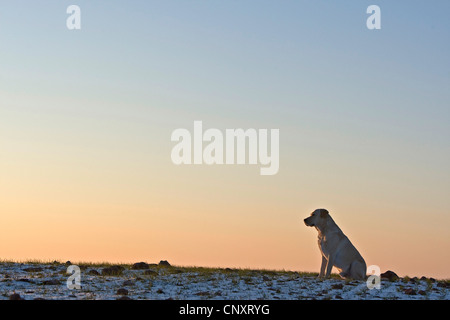 labrador retriever canis lupus f familiaris sitting alone on snow covered