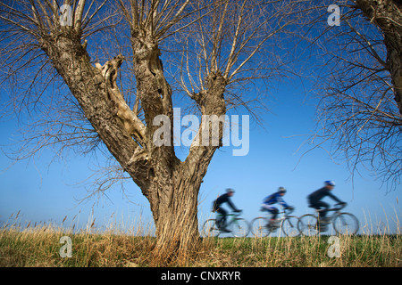 Three cyclists riding on bicycles on dike along pollard willow trees in spring, Belgium - Stock Photo