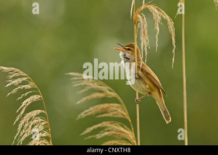 great reed warbler (Acrocephalus arundinaceus), sitting at reed singing, Turkey, Sanliurfa, Birecik Gravel Pits, - Stock Photo