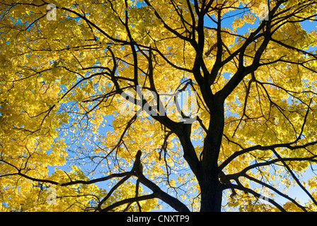 Looking up at tree leaves and autumn foliage in fall season. - Stock Photo
