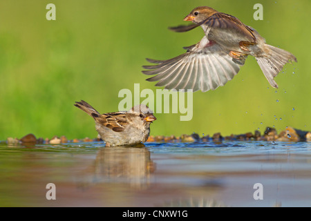 house sparrow (Passer domesticus), two females bathing, Germany, Rhineland-Palatinate - Stock Photo